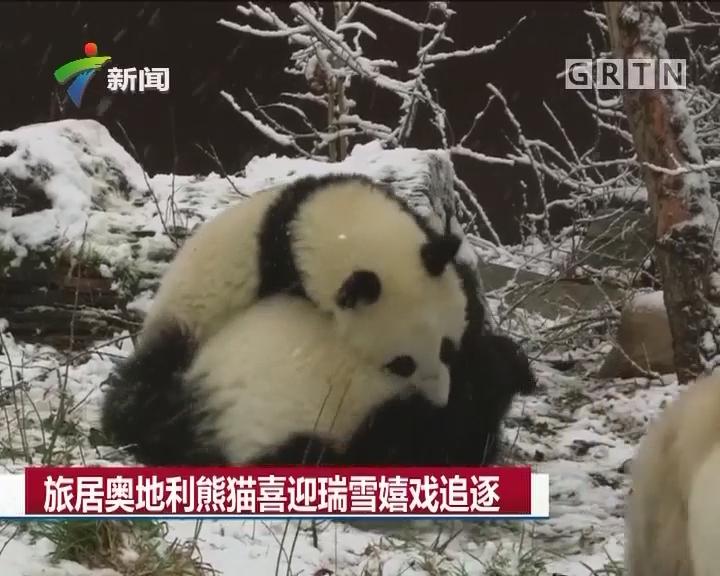 旅居奥地利熊猫喜迎瑞雪嬉戏追逐