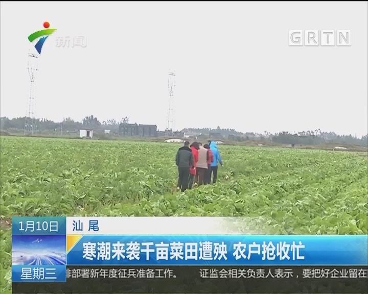 汕尾:寒潮来袭千亩菜田遭殃 农户抢收忙