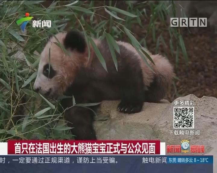 首只在法国出生的大熊猫宝宝正式与公众见面