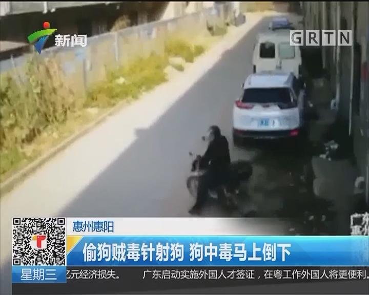 惠州惠阳:偷狗贼毒针射狗 狗中毒马上倒下