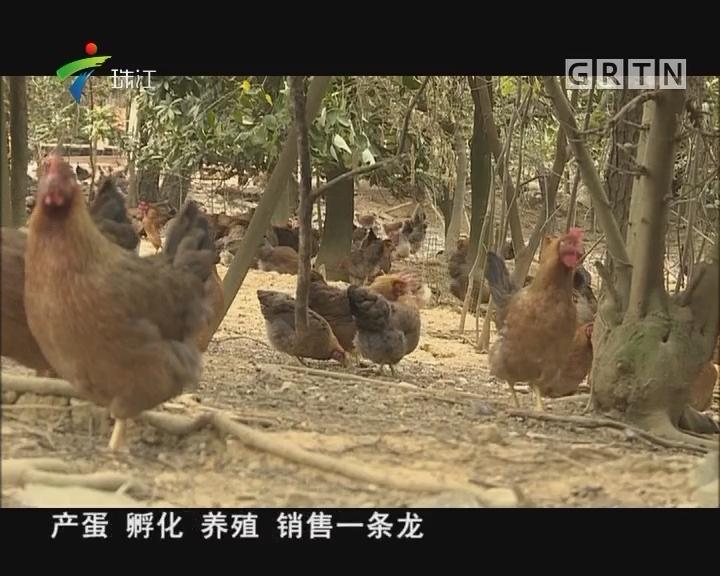 [2018-01-01]摇钱树:探究纯正清远鸡