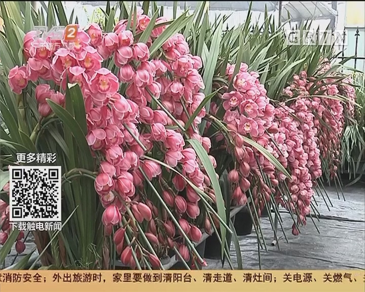 广州年花上市 兰花:货少价升 销量喜人