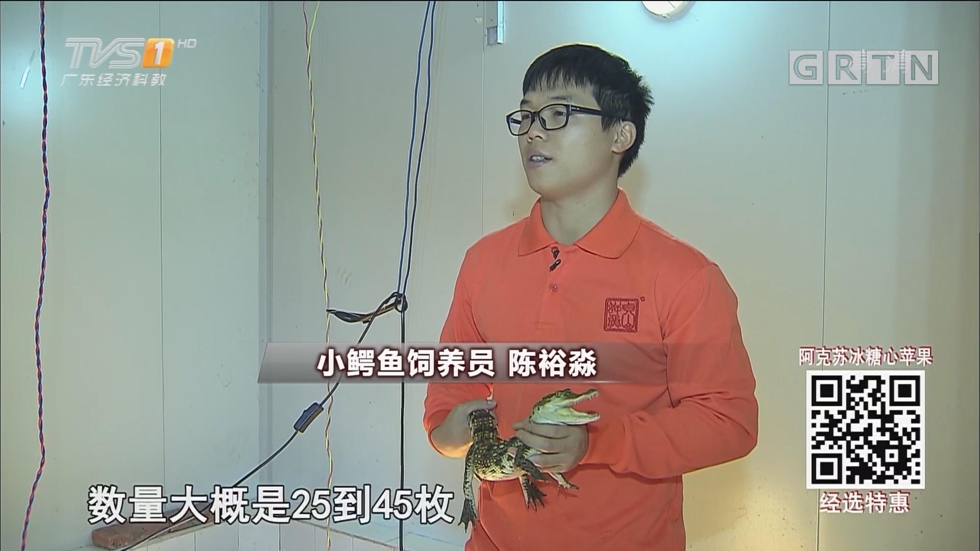 食品安全广东行系列报道 食补的艺术:一瓶鳄鱼酒的诞生