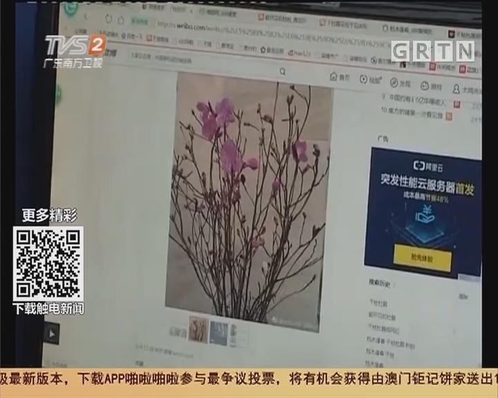 保护环境:干枝杜鹃成网红 大肆售卖伤生态