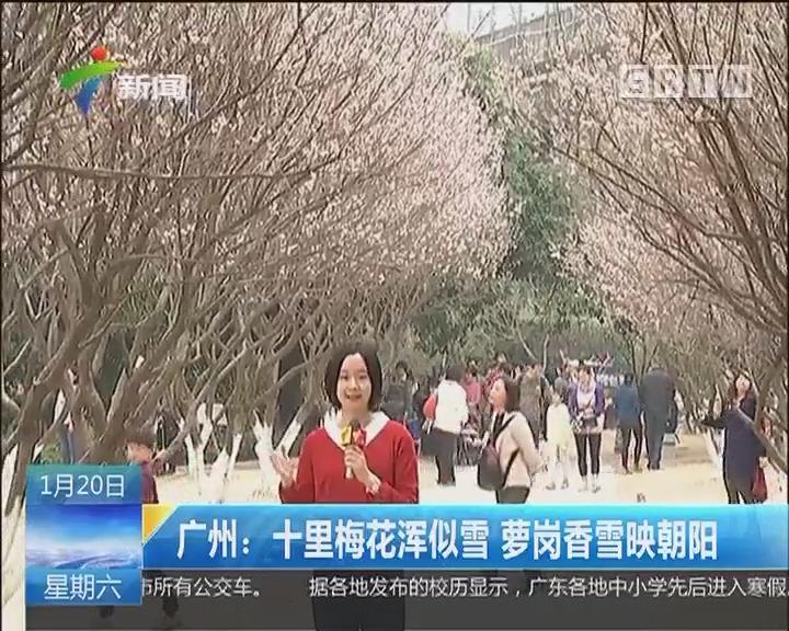 广州:十里梅花浑似雪 萝岗香雪映朝阳