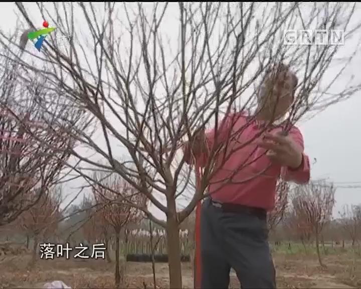 花农忙修桃叶 绑桃枝 年桔价格略有上浮