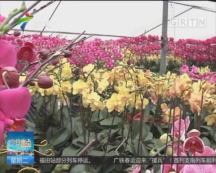 广州:年花年桔价格上涨20% 销量喜人
