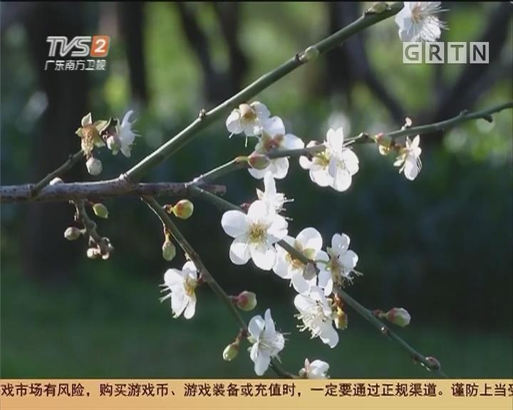 南粤赏梅:遥知不是雪 为有暗香来?