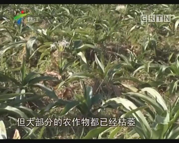 湛江:回乡青年艰辛耕种五年 作物疑遭投毒