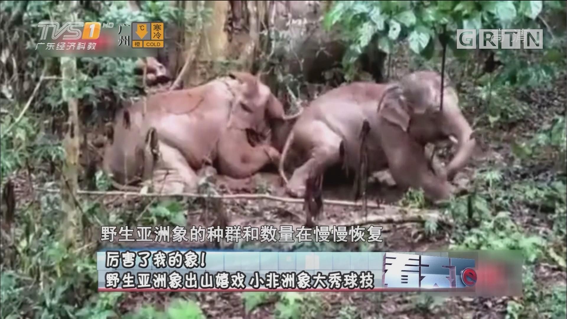 [HD][2018-01-08]看天下:厉害了我的象!野生亚洲象出山嬉戏 小非洲象大秀球技