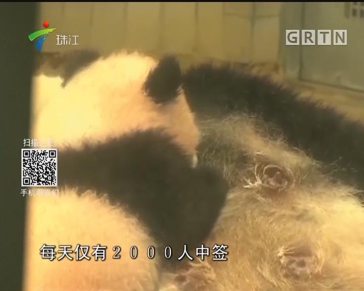 """看熊猫""""香香""""不再抽签 游客""""先到先得"""""""