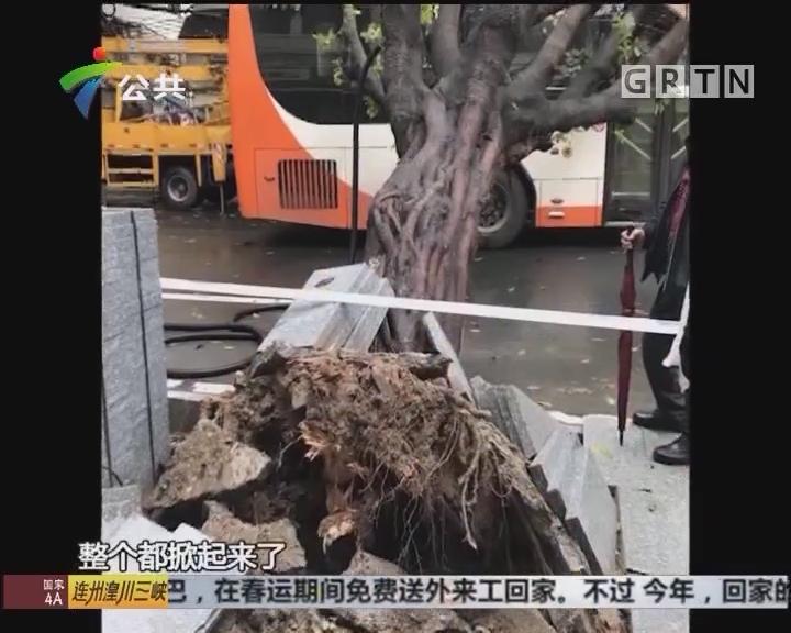 广州:大树砸中公交车 所幸无人受伤
