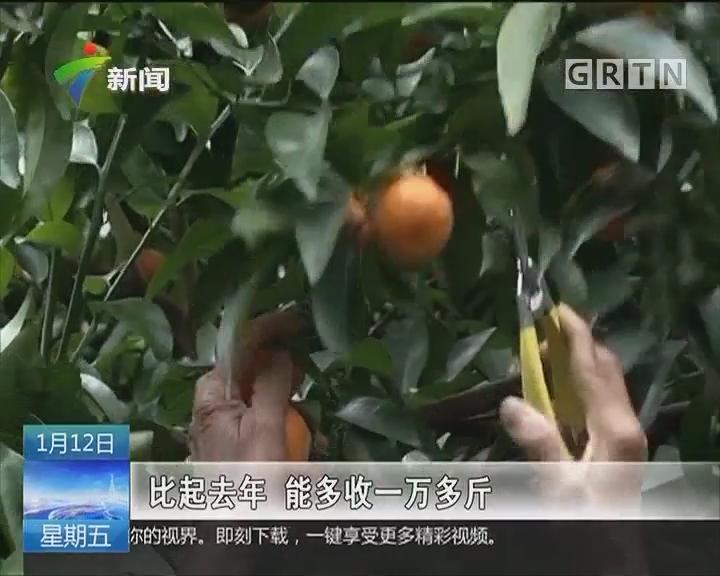 肇庆封开南丰:砂糖橘量多价跌 外地市场销售不给力