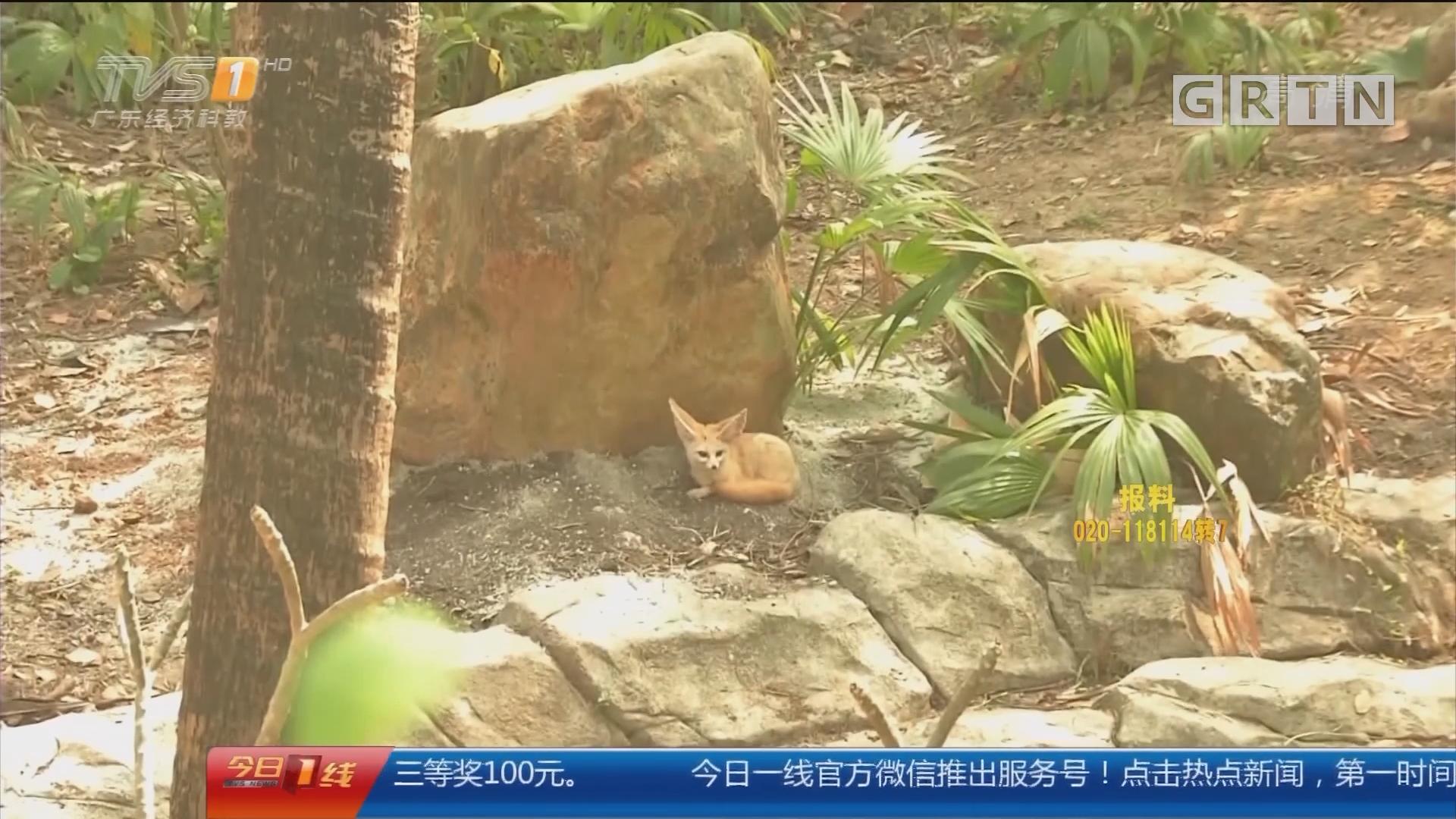 广州动物园 耳廓狐:大耳朵 吃水果 爱挖地洞