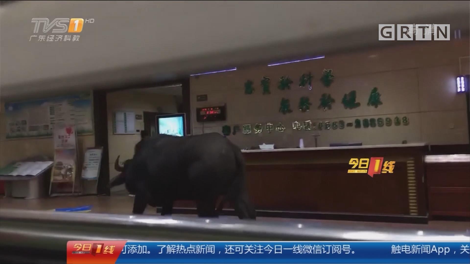 """揭阳普宁:医院变""""斗牛场"""" 特警出动"""