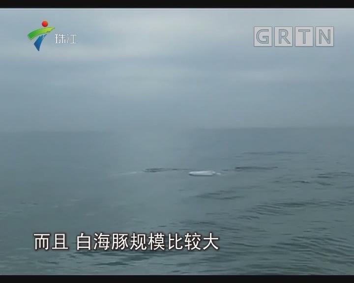 珠海:白海豚家族追鱼群 与帆友喜相逢