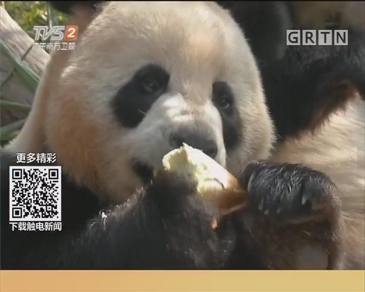 节日游园:熊猫开年 雪狼驾到