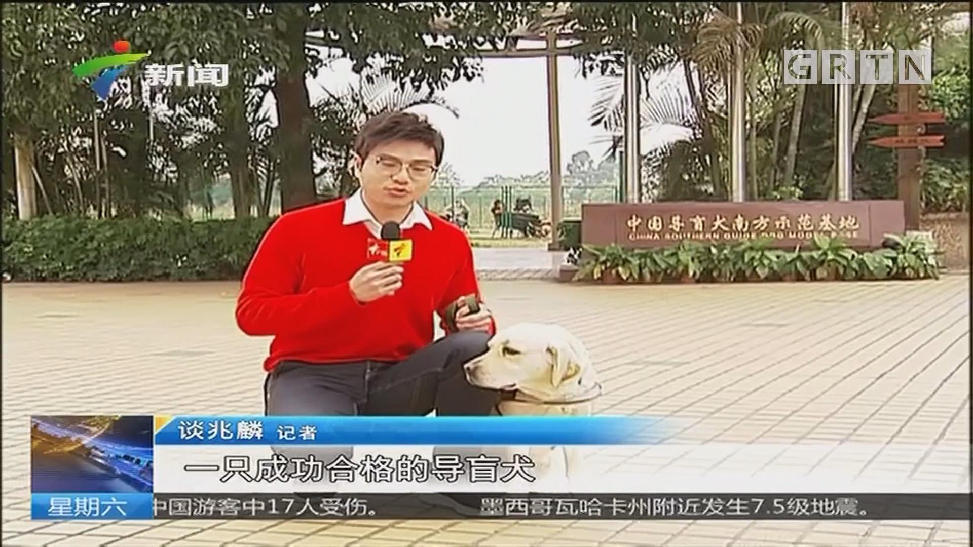 大年初二:广州首只本土服役导盲犬陪主人过节