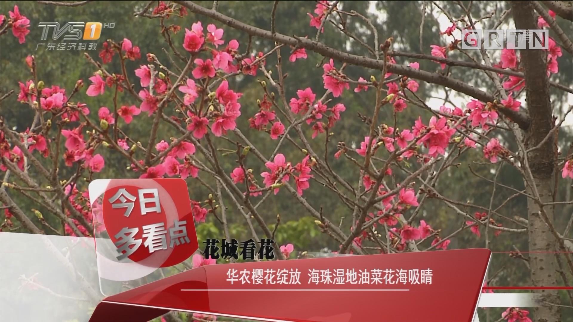 花城看花:华农樱花绽放 海珠湿地油菜花海吸睛