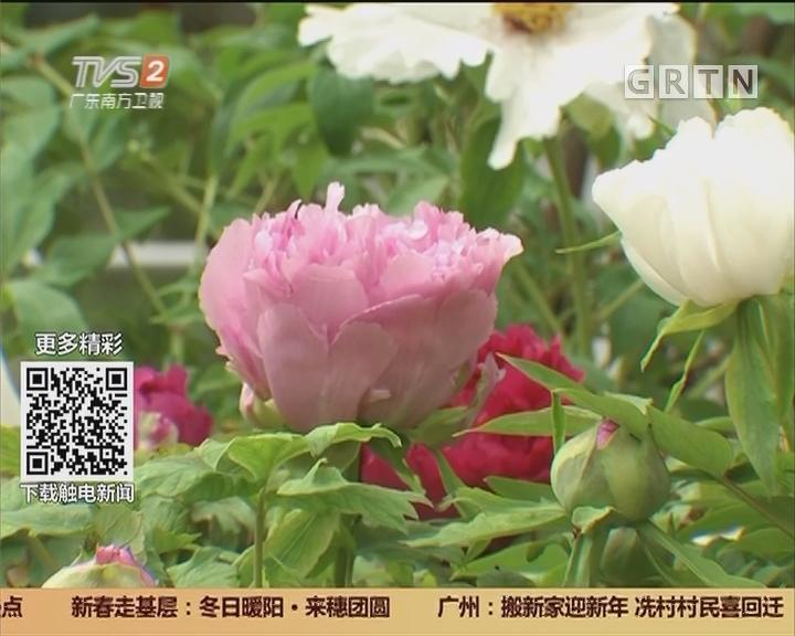 华南植物园:万株牡丹迎春 全部来自洛阳