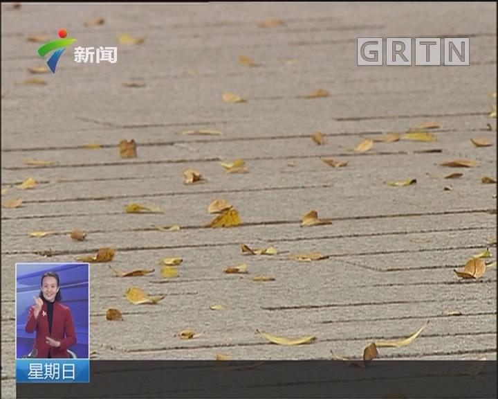 广州:黄叶纷飞 羊城迎最美落叶季