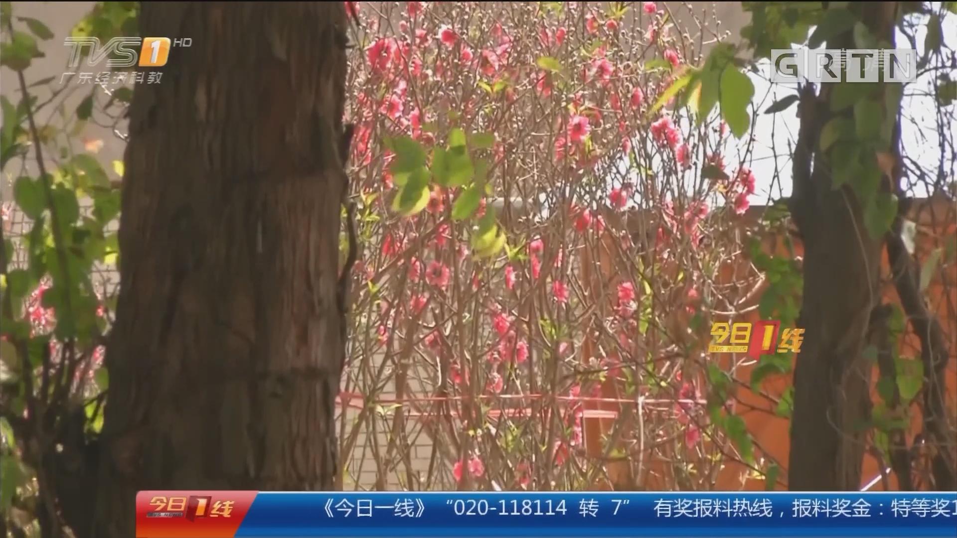 东莞厚街:辛苦种桃花却滞销 七旬老人求帮忙