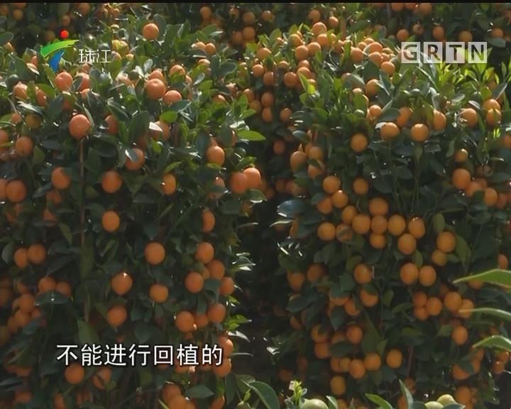 """深圳:""""过气""""年桔可预约回收回种"""