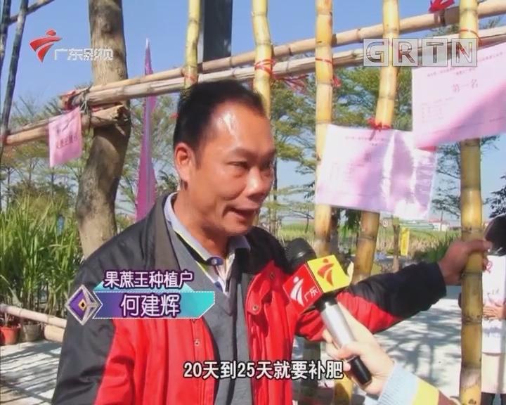 美丽乡镇新春睩:逛蔗林掂过睩蔗