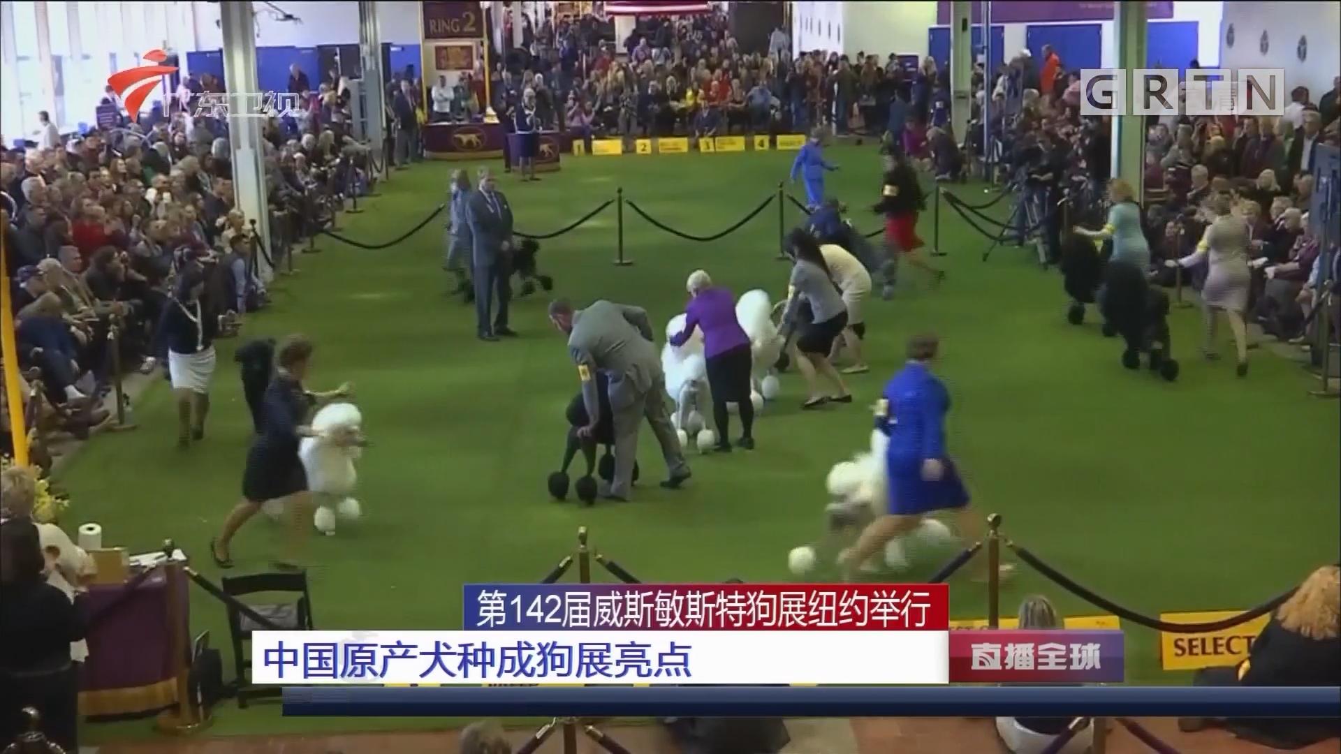 第142届威斯敏斯特狗展纽约举行:中国原产犬种成狗展亮点