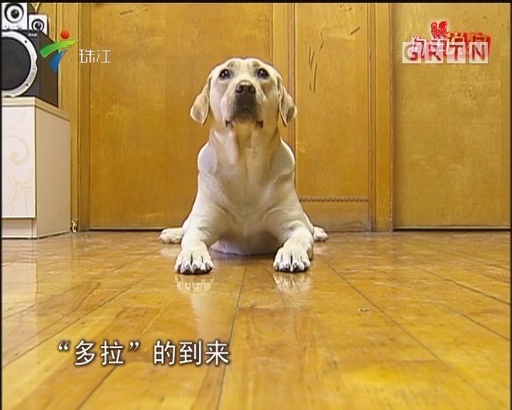 狗年说狗:导盲犬陪主人过大年