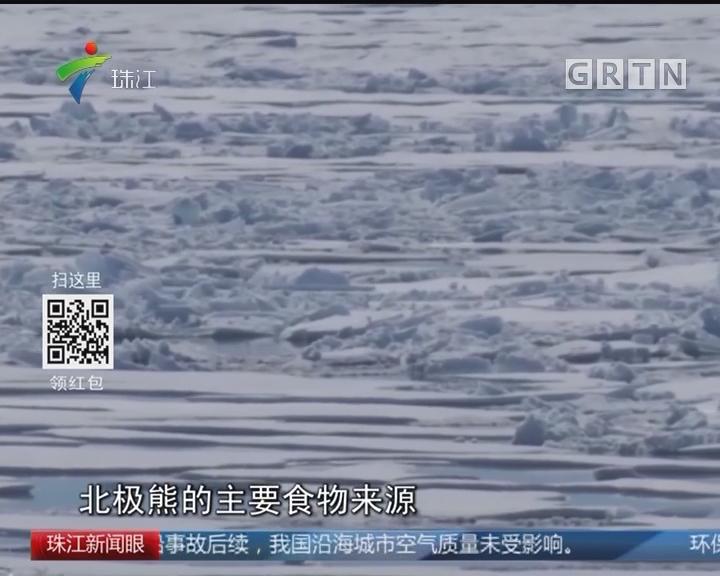 """心酸!气候变化导致北极熊极度""""瘦身"""""""