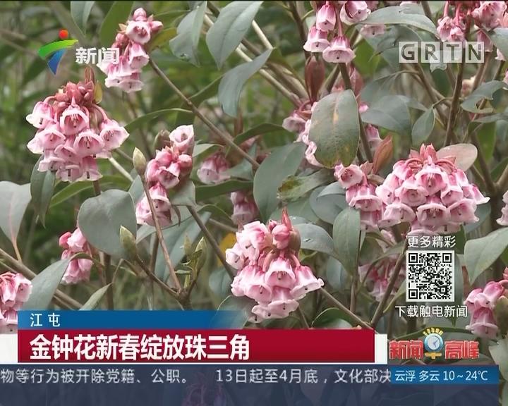 江屯:金钟花新春绽放珠三角