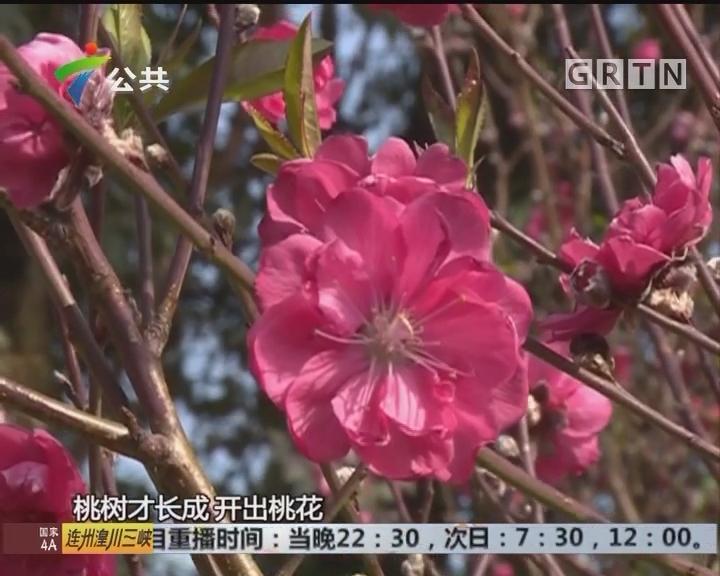 东莞:7旬老伯种植桃花 藏于野外无人识