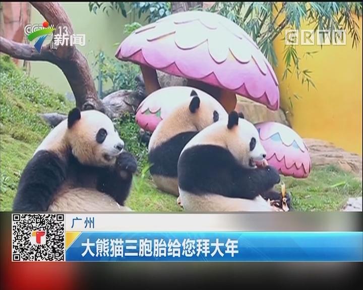 广州:大熊猫三胞胎给您拜大年