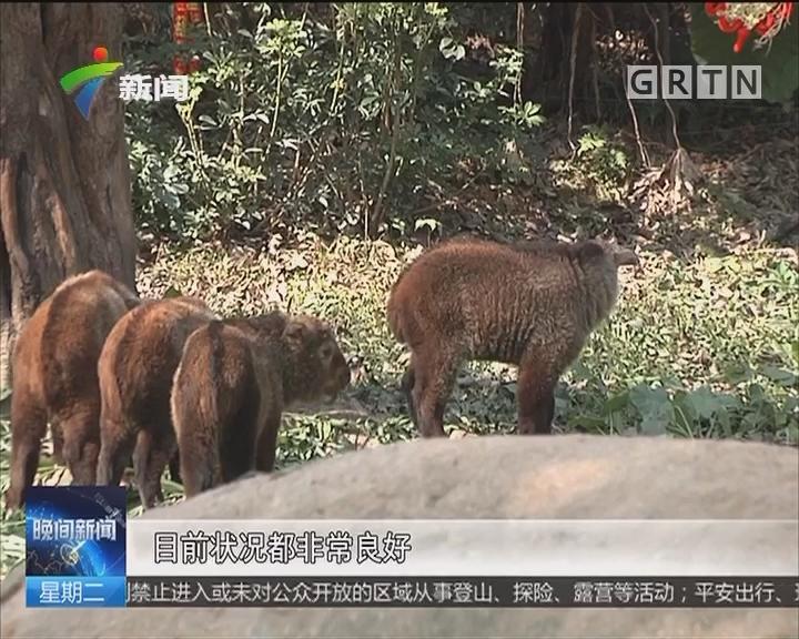 春节好去处:国宝动物新春齐报喜
