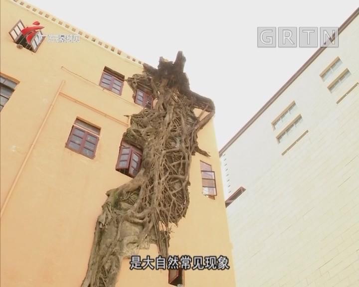 """榕树屋成为闹市中的""""奇观"""""""