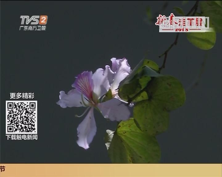 广州赏花:紫荆花提前盛开 人民北路姹紫嫣红