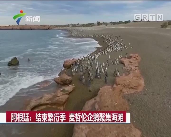 阿根廷:结束繁衍季 麦哲伦企鹅聚集海滩
