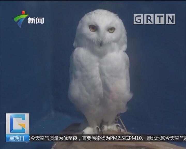 四川成都:萌翻!国内首次引进罕见雪鸮