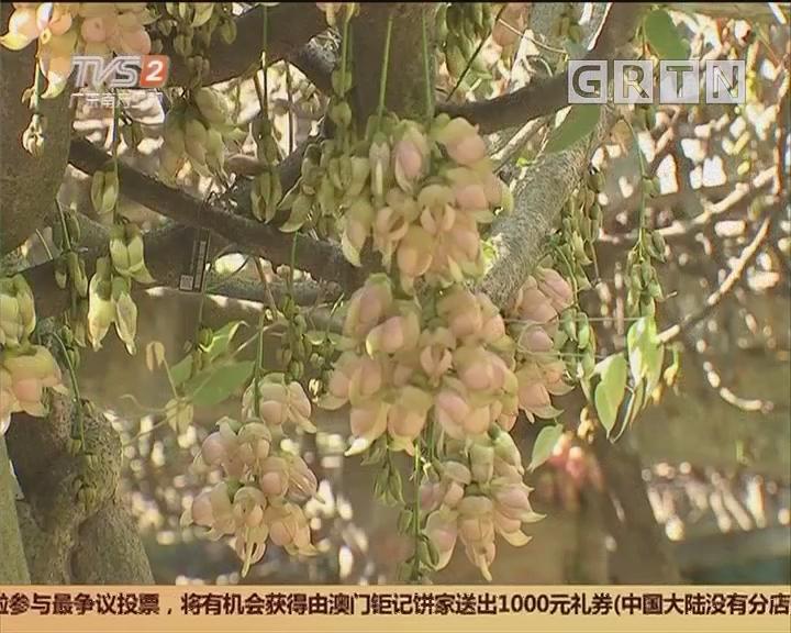 花开岭南:华南植物园 禾雀花盛放