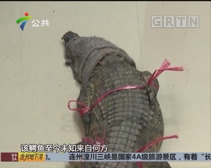 顺德:村内惊现鳄鱼 男子徒手抓捕