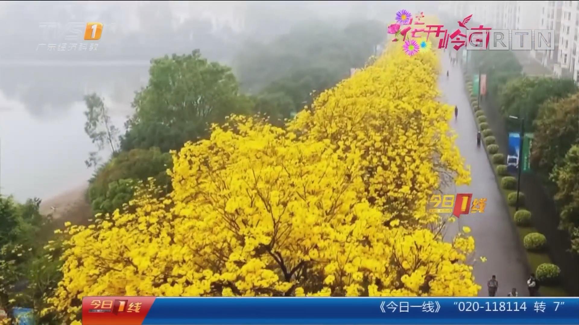 """花开岭南:广东最贵小区路 """"黄金""""落满地"""