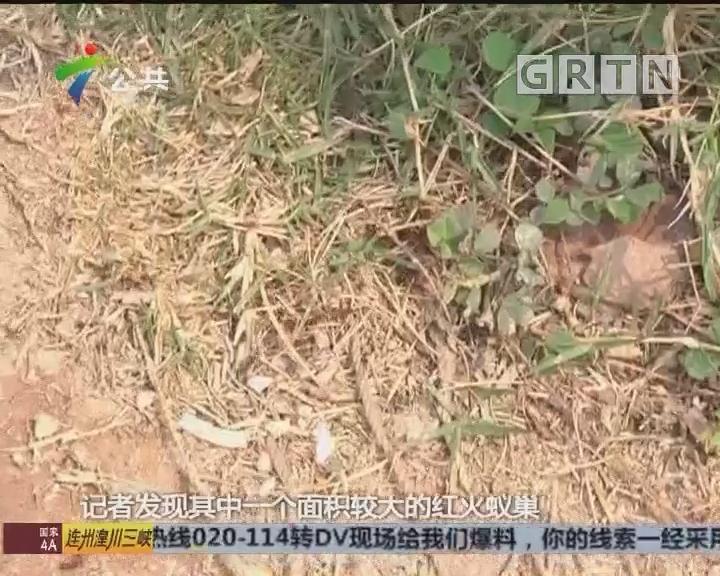 东莞:公园多处发现红火蚁 街坊外出谨慎防咬