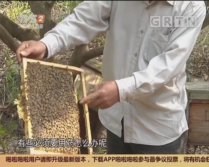 广州花都:大量蜜蜂离奇死亡 村民好忧心