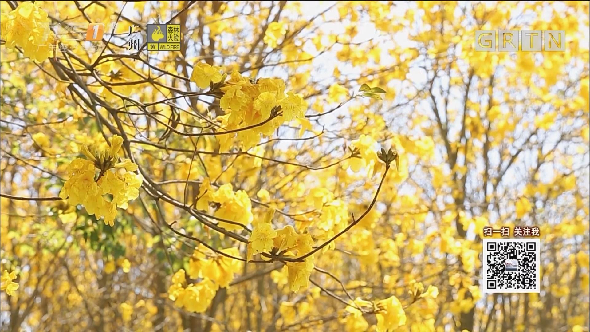 德庆:黄花风铃始盛开 满山尽带黄金甲