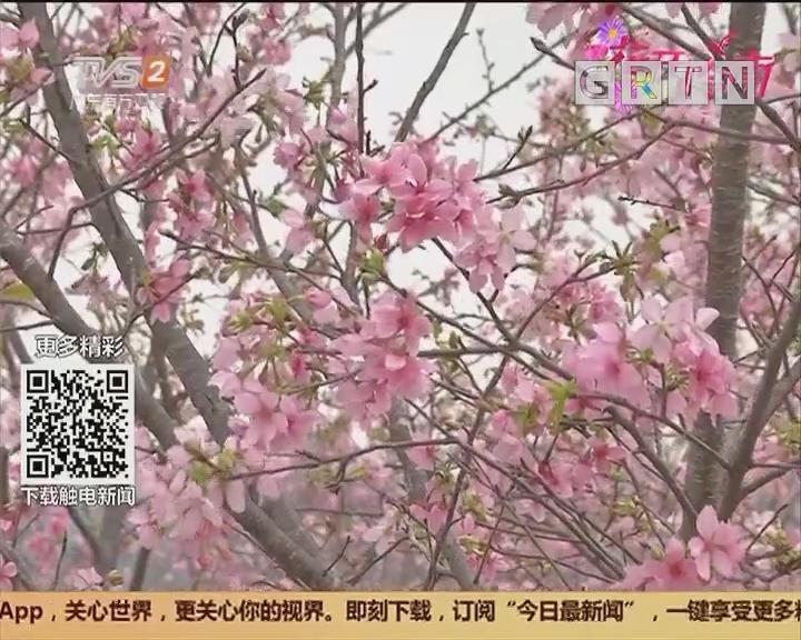 花开岭南:踏青赏花正及时 游赏千亩樱花林