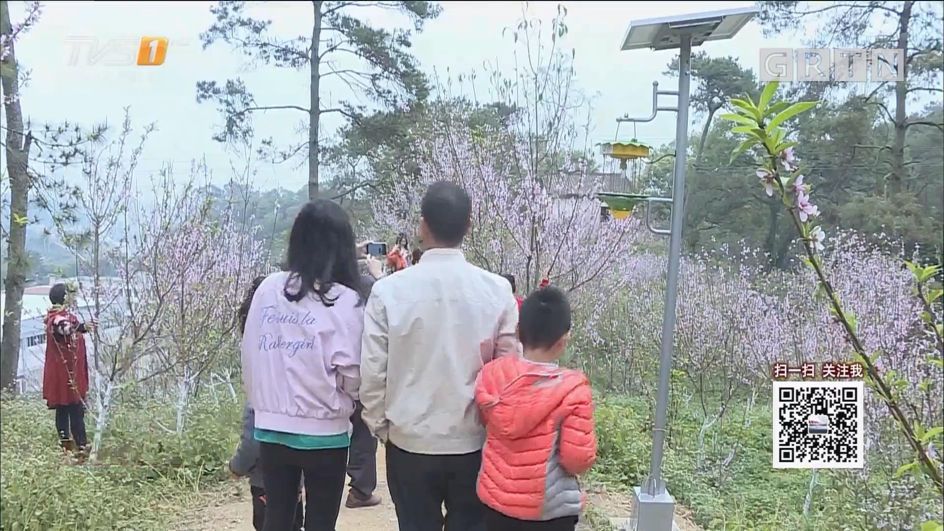 肇庆:桃花绽放油菜花开 引游客采撷春光