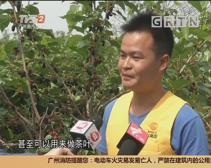 广州花都:蚕生春三月 春桑正含绿