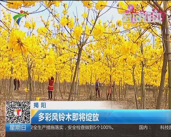 揭阳:黄花风铃木三月绽放
