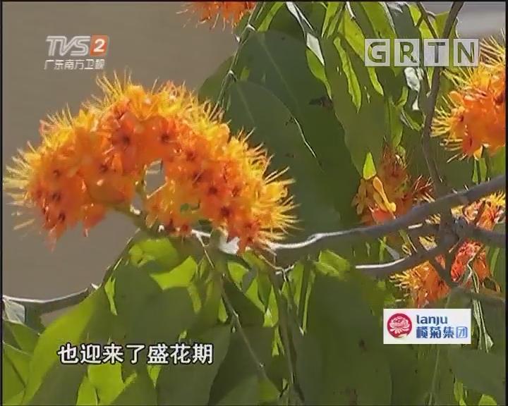 """怪事!无忧树现""""相隔开花"""""""